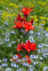 Lilium 'Gran Paradiso' with nigella and euphorbia