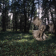 Great Gray Owl, (Strix nebulosa) Adult hunting in forest for prey. Montana. Spring.