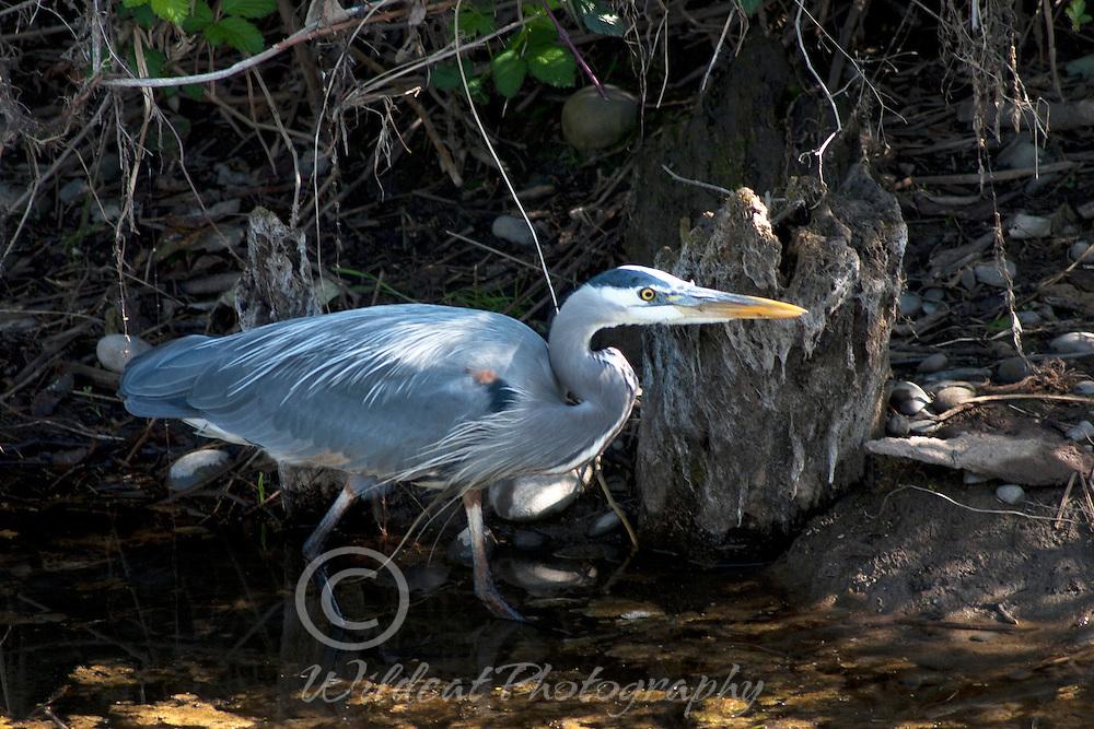 Great blue heron sneaking along