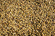 Parched Wheat! This frikeh needs to be dried or cooked within hours before it begins to mold. Restaurants Lovely's Fifty Fifty and Ava Genes will be serving Ayers Creek frikeh this week if you want to taste this unqiue local food that comes from a middle east tradition.