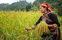 SAPA, VIETNAM - CIRCA SEPTEMBER 2014:  Young woman from the Red Dao minority harvesting on the rice fields in Ta Phin Village near Sapa, north Vietnam.