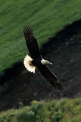 Bald Eagle, (Haliaeetus leucocephalus)  Adult in flight. Aleutian Islands. Alaska.