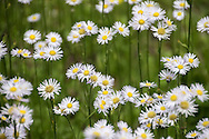 This short variety of Fleabane grow in tight, dense colonies, a charming sight to behold.  The flowers grow on slender stems and with leaves being hardly noticeable, the flowers seem to to almost be floating in air.