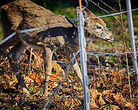 Young Deer inside the Electric Fence. Image taken with a Fuji X-H1 camera and 200 mm f/2 camera + 1.4x teleconverter (ISO 200, 280 mm, f/2.8, 1/1250 sec).
