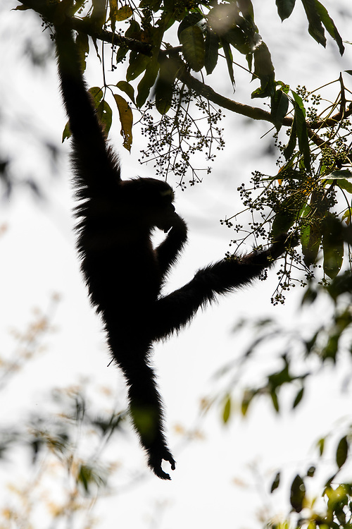 The Skywalker hoolock gibbon or Gaoligong hoolock gibbon, Hoolock tianxing, Gaoligong Mountains National Nature Reserve, Yunnan Province, China<br /> <br /> It was first described in January 2017 in the American Journal of Primatology.  The Skywalker hoolock gibbon is named after Luke Skywalker from the Star Wars, as the scientists who described it are fans.<br /> <br /> The Skywalker hoolock gibbon is found in the tropical forests of eastern Myanmar and the Yunnan Province in southwestern China.It is listed as Endangered by IUCN as there is only about 200 individuals in China and an unknown number in Myanmar.