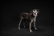 Faith, the black dog who came to my studio for the black dog's project.