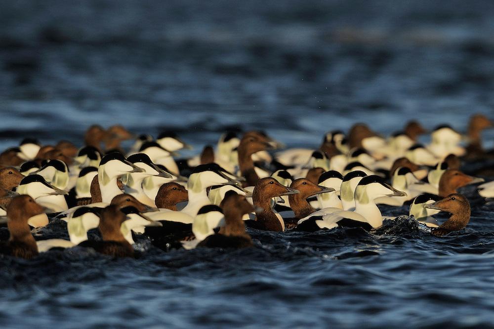 Eurasian eider duck males and females, Somateria mollissima, Tana River mouth, Varanger Peninsula, Norway, Scandinavia