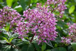 Fuchsia paniculata AGM