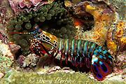 peacock mantis shrimp, Odontodactylus scyllarus, Richilieu Rock, Surin Islands, Thailand ( Andaman Sea, Indian Ocean )