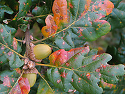Garry Oak Leaves and Acorns in the Fall