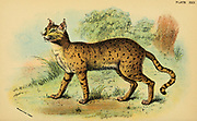 Desert Cat (Felis ornata) From the book ' A handbook to the carnivora : part 1 : cats, civets, and mongooses ' by Richard Lydekker, 1849-1915 Published in 1896 in London by E. Lloyd