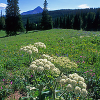 A Cow Parsnip (Heracleum lanatum) grows in a meadow near Big Sky Montana.  Lone Mountain rises in the background.