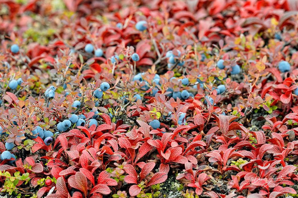 Arctic blueberry (Vaccinium uliginosum) Autumn foliage and berries, Arctic Haven Lodge, Ennadai Lake, Nunavut Territory, Canada