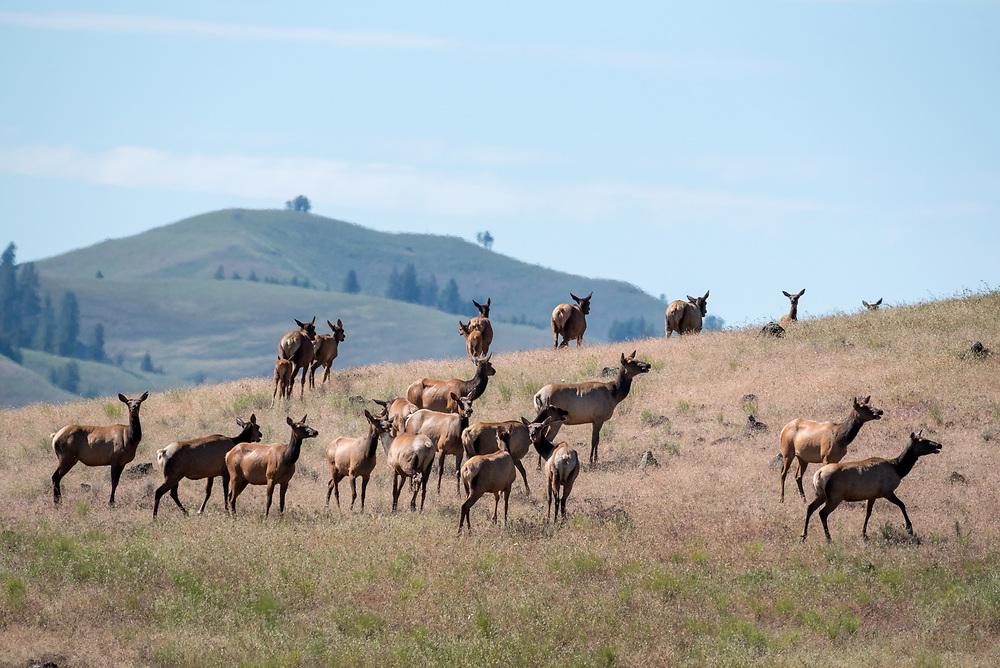 Elk cows and calves on a prairie in Northeast Oregon.