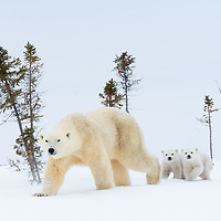 Polar bear mother walking on the tundra with ner two newborn cubs in Wapusk National Park near Churchill, Manitoba in Canada