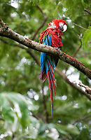 Red and Green Macaw (Ara chloroptera) perched in tree, Jardim da Amazonia Lodge, Mato Grosso, Brazil Photo by: Peter Llewellyn