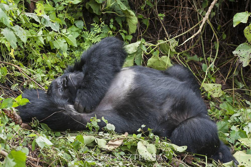 Mountain Gorilla<br /> Gorilla gorilla beringei<br /> Silverback resting<br /> Parc National des Volcans, Rwanda<br /> *Endangered species