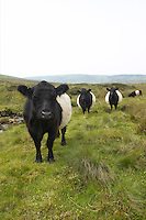 Belted Galloway cattle, used to renovate heather moors in Britain