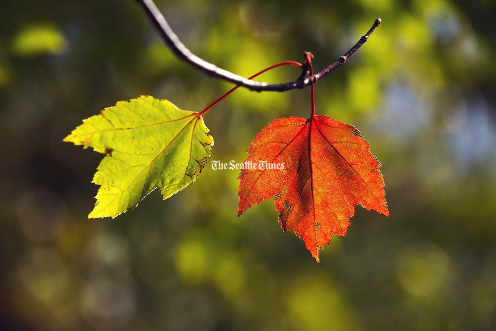 Leaves are changing from green to bright red as autumn approaches in Mountlake Terrace. (Bettina Hansen / The Seattle Times)