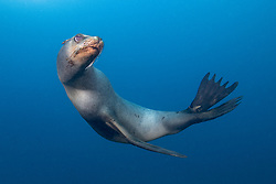 California Sea Lion, Zalophus californianus, Midriff Islands, Sea of Cortez, Mexico