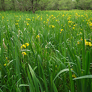 Yellow iris flowers in a boggy area of Killarney National Park, Ireland.