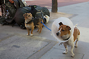 Dogs owned by a homeless man wait beside a pile of his belongings, London, UK. Two Jack Russell Terriers, one of which is wearing a flea collar.
