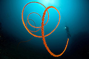 An orange wire coral: Stichopathes sp., with diver, Lembeh Strait