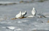 Ptarmigan - Lagopus mutus