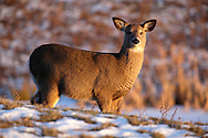Goshen, New York - A white-tailed deer in a field at sunset on Jan. 9, 2010. © Tom Bushey / The Image Works