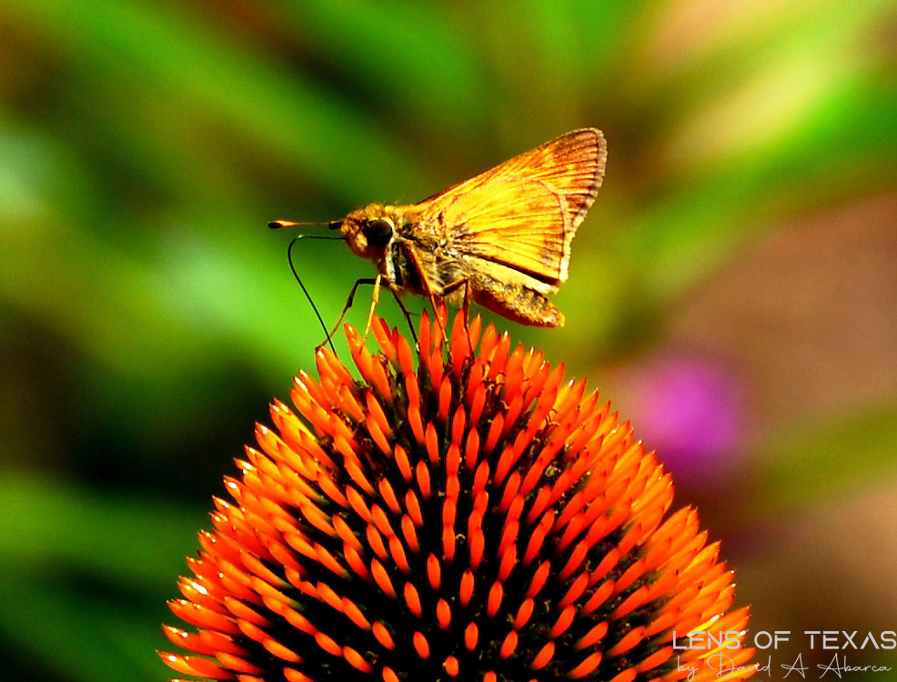 During their annual migration, this moth was resting on a flower in George Washington's garden aat Mount Vernon.