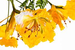 Yellow Poinciana#25