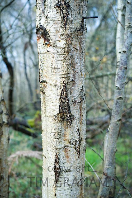 Silver birch tree - Betula pendula - deciduous tree in Somerset, UK