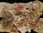 An dinosaur embryo from Montana.