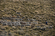 Alpacas (Vicugna pacos) going to pasture<br /> Chimborazo Forest Reserve<br /> Chimborazo Province<br /> Andes<br /> ECUADOR, South America