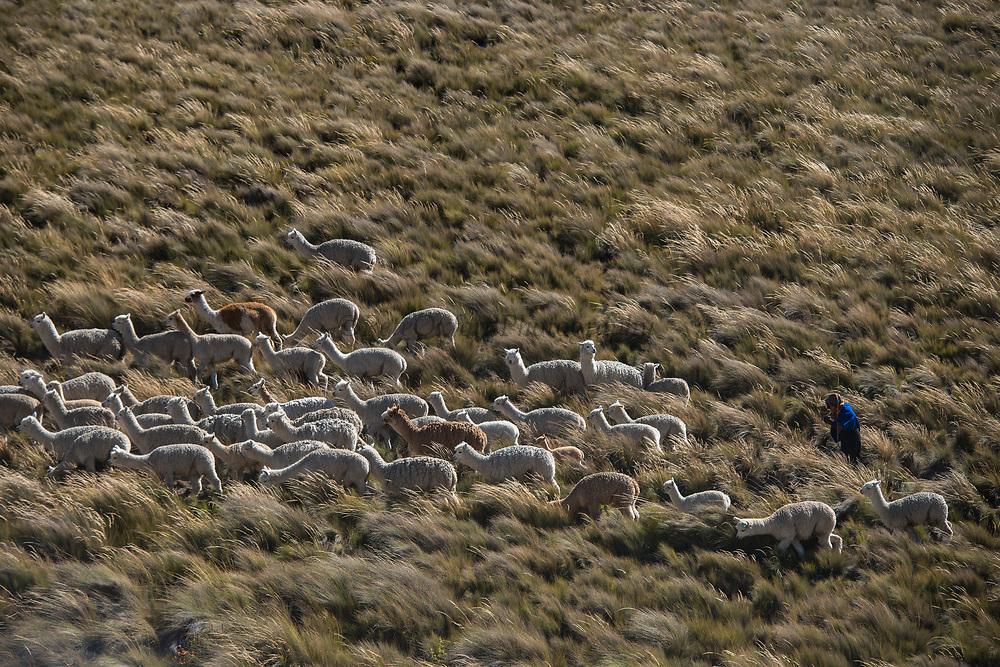 Alpacas (Vicugna pacos) going to pasture<br /> Chimborazo Forest Reserve<br /> Chimborazo Province<br /> Andes<br /> ECUADOR, South America