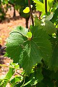 Domaine de l'Hortus. Pic St Loup. Languedoc. Vine leaves. Mourvedre vines facing south. France. Europe.