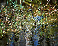 Tricolored Heron wading in Big Cypress Swamp. Image taken with a Nikon D3x camera and 70-200 mm f2.8 lens (ISO 100, 200 mm, f/2.8, 1/1250 sec).