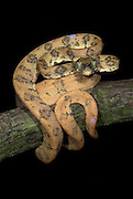 Amazon Tree Boa, Corallus hortulanus, Iquitos, Peru, arboreal, nocturnal, along shores of rivers and creeks, yellow, curled around branch, distinctive heat pits,. .South America....