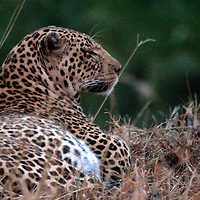 Africa, Kenya, Masai Mara. Mara Leopard.