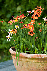 Sparaxis tricolor - Harlequin flower - in a terracotta pot