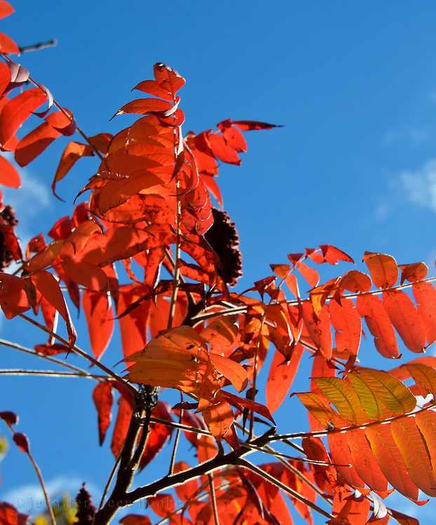 Backlit sumac leaves (Rhus sp.) glow against a deep blue sky.