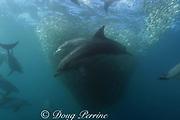 Indian Ocean coastal bottlenose dolphin, Tursiops aduncus ( formerly lumped with Tursiops truncatus ) feeding in baitball of sardines or pilchards, Sardinops sagax, the Wild Coast, Transkei, South Africa ( Indian Ocean ) during annual Sardine Run