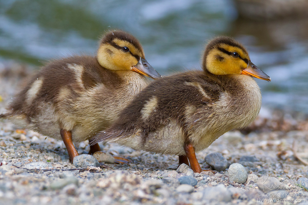 Two young mallard ducklings (Anas platyrhynchos) rest on the shore of Foster Island in the Washington Park Arboretum, Seattle, Washington.