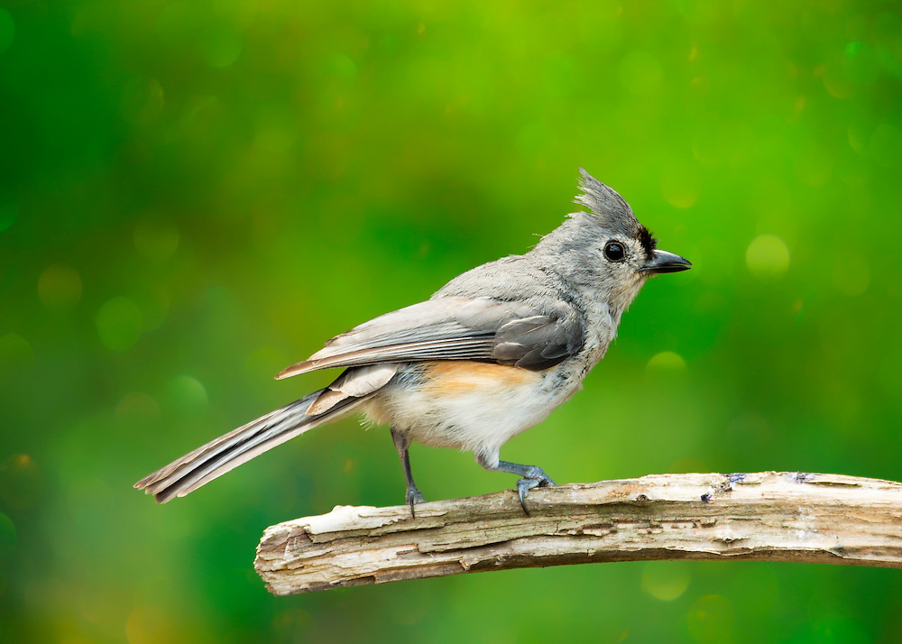 A chipper titmouse dances on his perch against a background of shamrock green bokeh