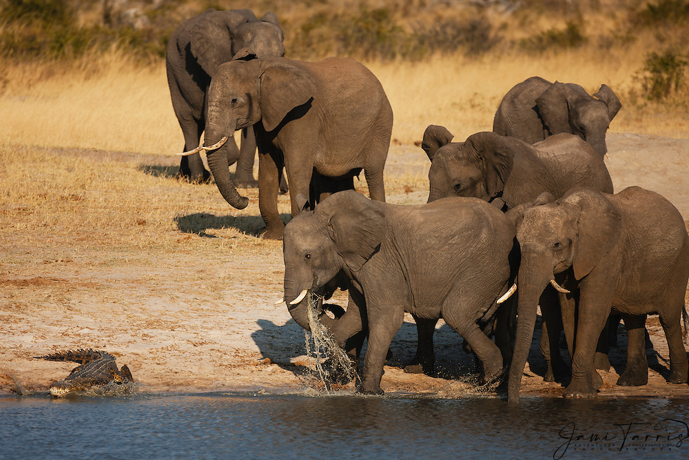 A herd of African elephants (Loxodonta africana) walking around a water hole find a Nile crocodile (Crocodylus niloticus) in their pathway, Hwange National Park, Zimbabwe,Africa