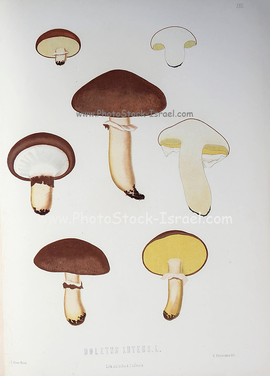 Suillus luteus [here as Boletus luteus] is a bolete fungus, and the type species of the genus Suillus. A common fungus native to Eurasia, from the book Sveriges ätliga och giftiga svampar tecknade efter naturen under ledning [Sweden's edible and poisonous mushrooms drawn after nature under guidance] By Fries, Elias, 1794-1878; Kungl. Svenska vetenskapsakademien Published in Stockholm, Sweden in 1861