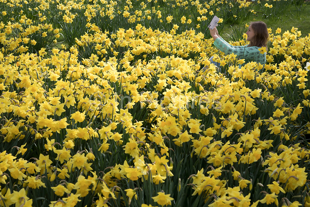 Young woman takes a selfie of herself amongst springtime Daffodils in St Jamess Park in London, England, United Kingdom. Narcissus is a genus of predominantly spring perennial plants of the Amaryllidaceae family. Various common names including daffodil, daffadowndilly, narcissus, and jonquil are used to describe all or some members of the genus.