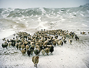 Sheep herd's return..Campment of Ortobil (Sufi), all the way at the end of the Little Pamir, near the Tajik/China border. .Winter expedition through the Wakhan Corridor and into the Afghan Pamir mountains, to document the life of the Afghan Kyrgyz tribe. January/February 2008. Afghanistan