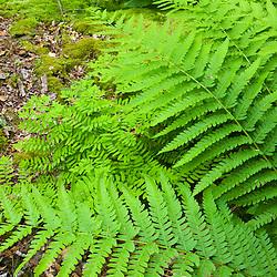 Cinnamon Ferns, Osmunda cinnamomea, in a swampy area of a forest in Gloucester, Massachusetts.