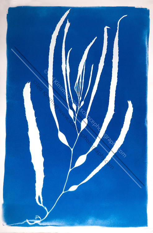 This is a cyanotype print of Kelp (Macrocystis sp.) collected in the waters of California along the Pacific Ocean.Cyanotype is a photographic printing process that produces a cyan-blue print. Engineers used the process well into the 20th century as a simple and low-cost process to produce copies of drawings, referred to as blueprints. The process uses two chemicals: ammonium iron(III) citrate and potassium ferricyanide.  The English scientist and astronomer Sir John Herschel discovered the procedure in 1842.